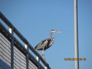 Oct 8 heron on lock
